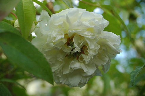 Banksiae Banksiae - Kletterrosen und Rambler